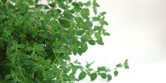 Dobromysl obecná známá jako koření oregano pocházející ze Středozemí roste na našich loukách. V zahradě se pěstuje od nepaměti jako zázračně léčivé koření.