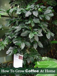 How To Grow Coffee At Home - Homegrown Fresh coffee beans hmmmmm...