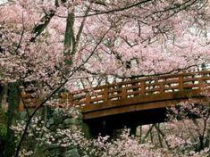cherry blossom, Japan