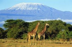 Giraffes with Mt. Kilamanjaro in the background. The giraffe's scattered range extends from Chad in the north to South Africa in the south, and from Niger in the west to Somalia in the east. Giraffes usually inhabit savannas, grasslands, and open woodlands. Their primary food source is acacia leaves, which they browse at heights most other herbivores cannot reach.
