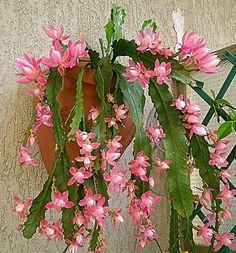 Epiphyllum. | Flickr - Photo Sharing!