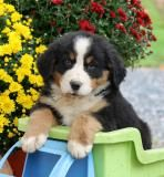 """Lady"" is a one of a kind Bernese Mountain Dog, Beautiful, Loyal and O so Sweet! ♥ She would love to find her forever family in time to spend the holidays with them! find Lady, her brothers and sisters @ www.lancasterpuppies.com #FindingHerForeverFamily #BerneseMountainDog #LancasterPuppies"