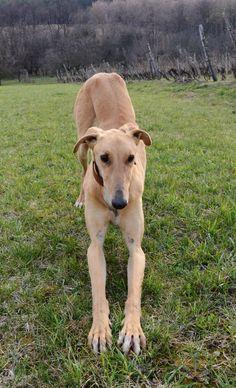 Magyar Agár / Hungarian greyhound #Sighthounds #Dogs #Puppy