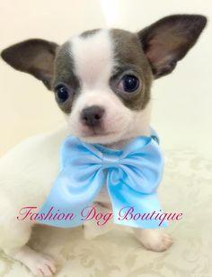 Ciao a tuttiii❤️ io sono il piccolo Bisio bacetti a tutti i ️Pelosetti che ci seguono #fashion #fashiondogboutique #cutie #coccole #cuccioli #chihuahua #chihuahuafashion #life #love #dog #dogmodel #dream #instadog #instalove #instafashion #rivoli #prince #puppie #style #sweetie #shopping #sweetnight #kiss #blue #night #moda