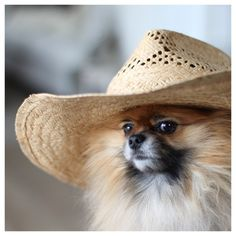 My Pomeranian dog, Bamse are model for the day for my summerhat <3 sweet... http://instagram.com/missmettes1#
