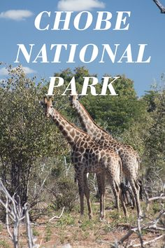 Driving into the park for the first time you see nothing but thorn trees jostled together, with coarse shrubbery nestled in soft, fine sand. Chobe National Park, National Parks, Fine Sand, Game Reserve, Africa, Travel, Animals, Viajes, Animales
