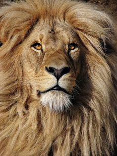 Katanga Lion, Leon