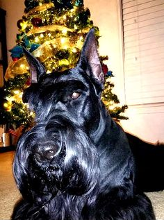 Merry Christmas from Draco!! Heart of Texas Giant Schnauzers