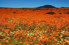 Namaqualand, South Africa: once a year in spring, this desert area is covered with wild flowers for a very short period.