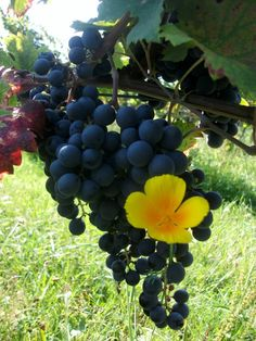 Beautiful natural photo from the vineyard during harvest 2011. Organic viticulture at its best. Wild flower and a bunch of #CabFranc grapes.
