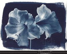 This cyanotype is from a digital negative of a photo taken of an amaryllis.