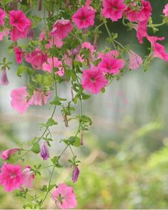 Beautiful capture of Petunias Amazing Flowers, Fresh Flowers, Beautiful Flowers, Flower Meanings, Flowering Vines, Types Of Flowers, Flowers Nature, Flower Wallpaper, Beautiful Gardens