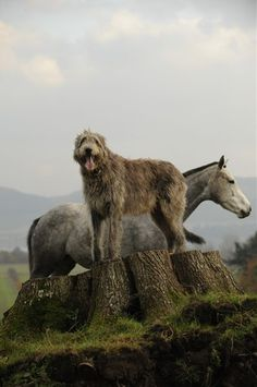 Irish Wolfhound & friend...this guy would look good standing next to Jackson!