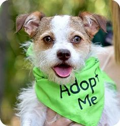 Marina Del Ray, CA - Jack Russell Terrier/Spaniel (Unknown Type) Mix. Meet TALI- video to view, a dog for adoption. http://www.adoptapet.com/pet/17445820-marina-del-ray-california-jack-russell-terrier-mix