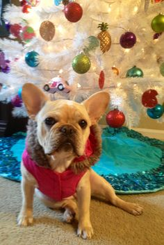 Merry merry Madeline, adorable French Bulldog under the Christmas Tree.