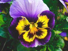 Pensamientos flores