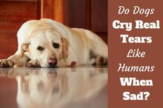 Do dogs cry real tears writtenbeside a sad looking yellow labrador Dog Ear Mites, Corneal Ulcer, Shedding Tears, Dog Crying, Nasal Cavity, Eye Infections, Teary Eyes