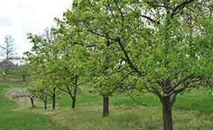 Solving Fruit Tree Blooming & Bearing Problems