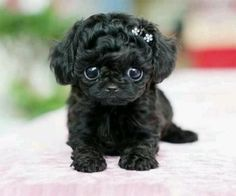 cute teacup puppies A teacup poodle. Cute Teacup Puppies, Cute Dogs And Puppies, Doggies, Teacup Poodles, Teacup Maltipoo, Cutest Dogs, Maltipoo Puppies, Adorable Puppies, Toy Poodles