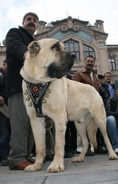 Second Hand Dog Supplies Cute Cats And Dogs, I Love Dogs, Dogs And Puppies, Huge Dogs, Giant Dogs, Kangal Dog, Big Dog Breeds, Wild Dogs, Beautiful Dogs