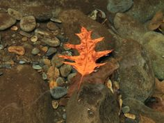 autumn leaf on water | Nature___Seasons___Autumn____Oak_leaf_on_water_068336_29.jpg