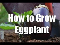 "It's so easy to grow eggplant, this will show you how including the sun, soil, spacing, and fertilizer eggplant likes. I""ll also share tips on watering and harvesting eggplant so it's flavorful and not bitter. Plant some today. Organic Gardening Tips, Sustainable Gardening, Vegetable Gardening, Growing Eggplant, Best Perennials, Grow Bags, Hobby Farms, Colorful Garden, Seed Starting"