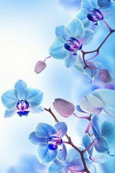 Blue Orchids Wallpaper
