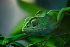 Nature-madness: Chamaleon By Wael Eldeep