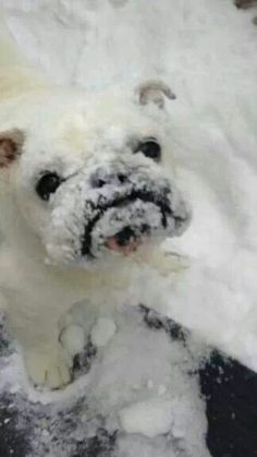 Cute little snow covered Bulldog! Cute Puppies, Cute Dogs, Dogs And Puppies, Doggies, Cute Baby Animals, Animals And Pets, Funny Animals, Wooly Bully, Cute Bulldogs