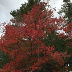 Red Maple Trees are working their magic :maple_leaf::fallen_leaf::evergreen_tree:#trees #fallcolors #maple