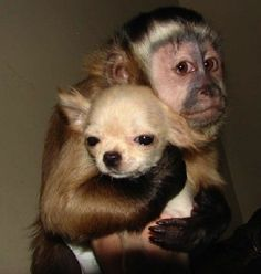 @Allison Ray.... LOOK AT THIS MONKEY WITH A CHIHUAHUAAAAAAA. This makes me want a monkey in clothes even more!!!!!!!!! Ahhhhh!!!!!