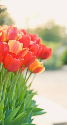 tulips.... Don't have enough of these at my house