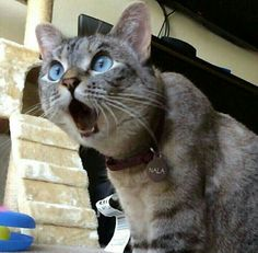Funniest Cats Faces and Reactions: Mood Transformers - Gifts and more - Funny Animal Pictures-Cats and Dogs: Pets Are Mood Changers - Funny Animal Pictures, Cute Funny Animals, Cute Baby Animals, Funniest Animals, Funny Cat Faces, Funny Cats, Silly Cats, Image Chat, Beautiful Cats