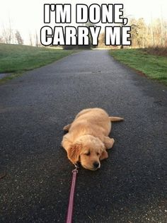 This is Jovie every time we go walking or she has a asthma attack and I have to carry her anyway.
