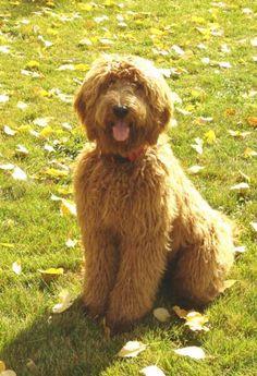 Labradoodle Puppies Dogs for Sale Goldendoodles Dog Breeder