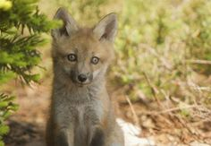 Foxes move into the neighborhood | The Columbus Dispatch
