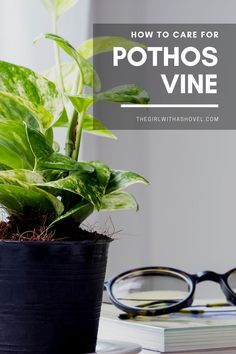Do you have one of these amazing pothos plants?! Learn how to care for it for years to come! #epipremnumaureum #devilsivy Pothos Vine Care | Pothos Plant | Pothos Vine Plant Care | Pothos Care Tips | How to Care for Pothos Vine | Epipremnum Care | Devils Ivy Plant Care | Pothos Plant Care, Pothos Vine, House Plants Decor, Plant Decor, Marble Queen Pothos, Neon Pothos, Crescent Recipes, Jungle Life, All About Plants