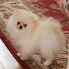 Tinchi Pomeranian Chelliche Lilly. She is not a teacup, she is espresso cup size.