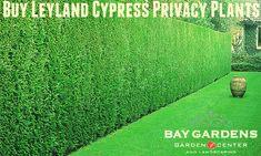 Today everyone wants privacy, and Leyland Cypress privacy Plants are the best for keeps privacy between neighbors and you. These plants growing fast, getting thick shape in up to one year. \Baygarden provides a wide selection of Leyland Cypress privacy plants in Long Island at an affordable price. You can visit our website for buying these plants.