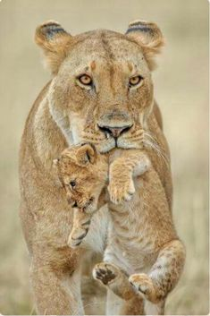 Lioness moving her cub. Did it get careless and wander off too far?  ♥️♥️♥️♥️♥️