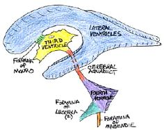 CH 3. Ventricles of the brain. CSF is secreted by choroid plexus (capillaries), extending from the pia mater into all of the ventricles. CSF flows from the lateral ventricles -> 3rd ventricle -> cerebral aquaduct -> 4th ventricle etc. From there, it seeps into the subarachnoid space, then draining into the dural sinuses and out past the outermost meninx (dura mater). Outside of the BBB, the fluid continues down through the jugular veins of the neck. Blockages/damage may result in…