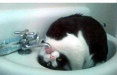 Funny Animal Pictures - View our collection of cute and funny pet videos and pics. New funny animal pictures and videos submitted daily. Funny Cats, Funny Animals, Cute Animals, Barnyard Animals, Animals Images, Crazy Cat Lady, Crazy Cats, Amor Animal, Cat Drinking