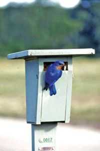 Build a DIY bluebird house to attract your favorite songbird and add to thriving habitats known as bluebird trails. Homemade Bird Houses, Bird Houses Diy, Bird Feeder Plans, Diy Bird Feeder, Bluebird House Plans, Bluebird Houses, Bird Types, Birdhouse Designs, Bird House Kits