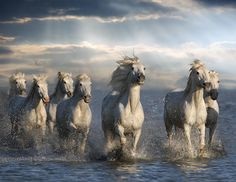 wild horses of the camargue. Photo by Kathy Reeves.