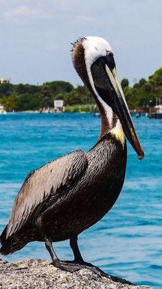 Pelican in Jupiter, FL.