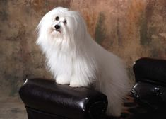 The Coton de Tulear was first formally recognised as a breed by the Societe Centrale Canine (the French national kennel club) in 1970,[10] and was accepted by the Fédération Cynologique Internationale, which published the breed regular in 1972.