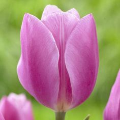 Tulip Early Glory. Large, sugar-pink flowers have a satiny sheen and are lightly ruffled across the top. A pretty tulip in the garden and a popular choice for cutting.