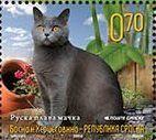 Russian Blue (Felis silvestris catus)