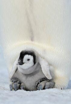 Pingviner dating