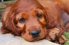 irish setter - Google Search